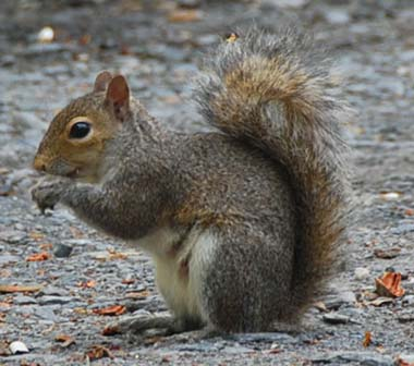 squirrel-gray